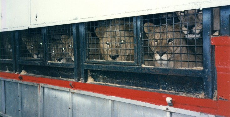 Lions in trailer Chipperfield Promotions