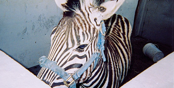 F: Bailey Brothers Circus, Illinois Penny the zebra escaped twice from her pen in four days. She would put her head through the metal railings and lift the hinges to escape. She also barged the railings and paced when her companion pony, Tony, was away performing. Penny would also try to escape when workers moved her from the enclosure to her trailer, pulling and kicking. Occasionally, she bit circus workers and members of the public.