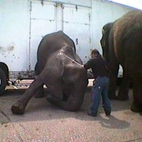 C: Use of elephant hook on Swain elephants at Bailey Brothers Circus.
