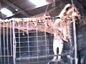 A. This lion at the permanent quarters of Chipperfield Enterprises in the U.K. (at the time a supplier of acts to the U.S.) has climbed onto a prop and is attempting to escape through a hole in the netting of a training ring. This illustrates how animals can exploit deficiencies in containment, leading to dangerous situations.