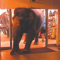 Hanneford Family Circus elephants enter indoor market.