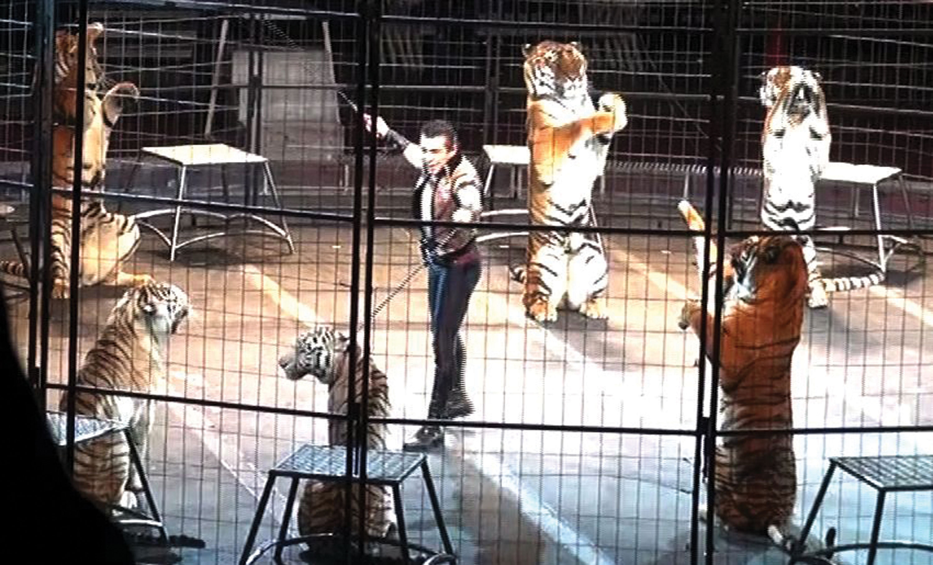 performing-tigers2-3000px