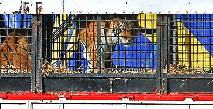 Great British Circus tiger