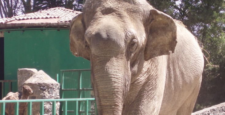 Benny the circus elephant in Mexico
