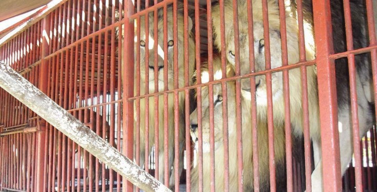 Caged lions, Bolivia