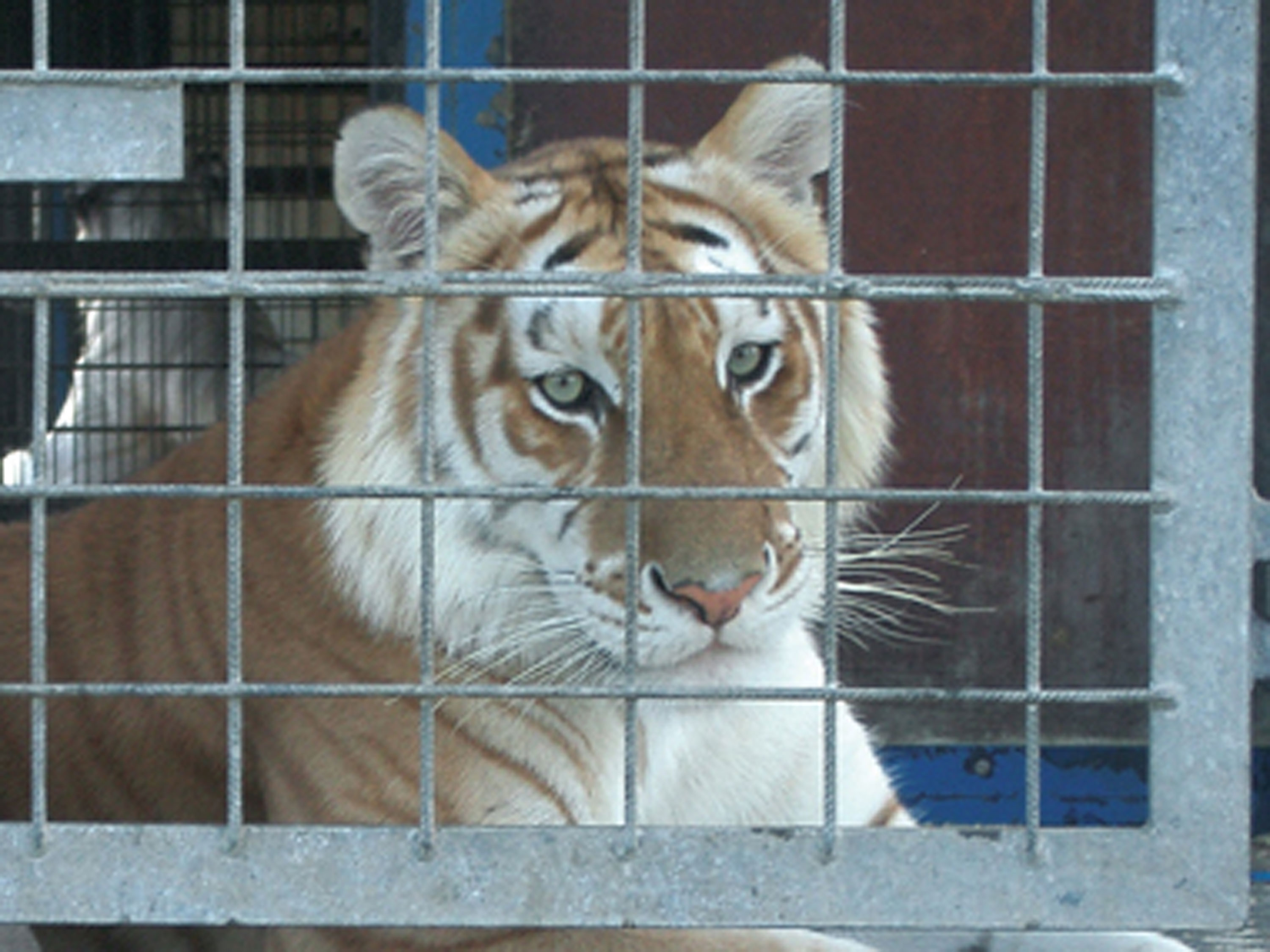A tiger living on the back of a truck with Clyde BeattyCole Bros.Circus