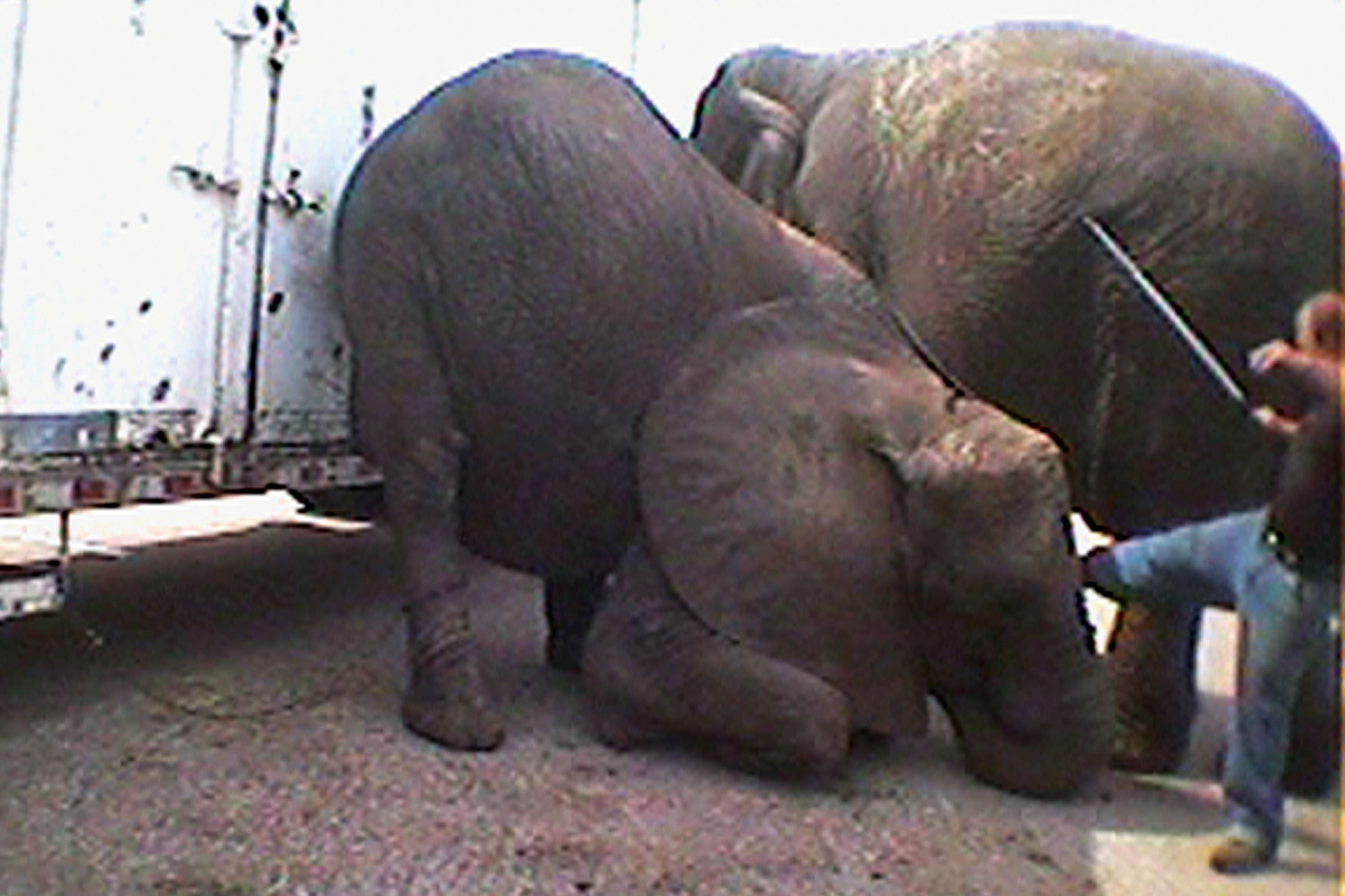 Bailey Brothers Circus elephant being kicked