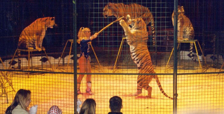Marilyn Chipperfield and tigers at Duffy's Circus