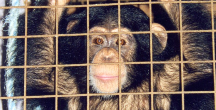 Chipperfield chimp Trudy