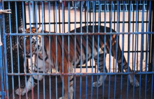 Akef - caged tiger SCS